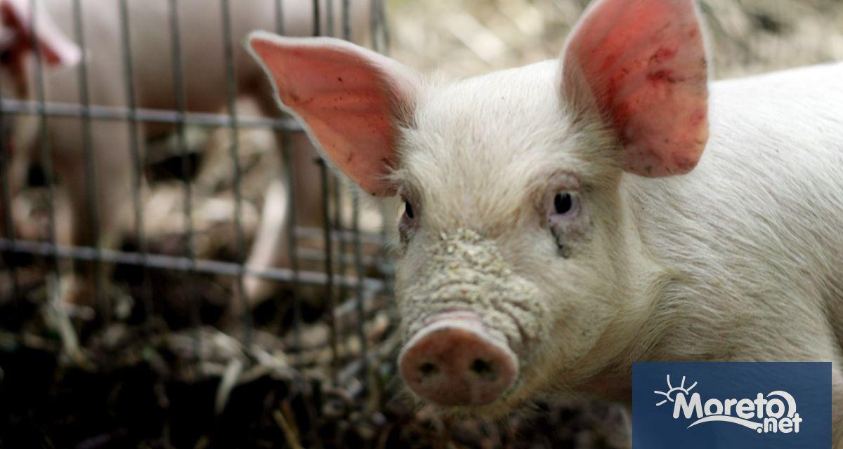 България получи статут на държава, свободна от класическата чума по свинете